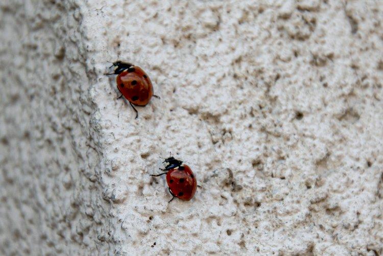 Invazie de buburuze la Constanța
