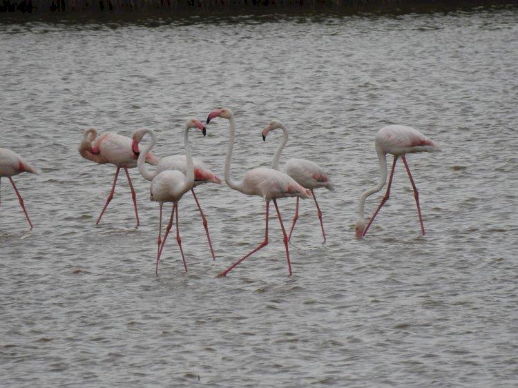 Peste 100 de păsări flamingo au fost observate în Delta Dunării